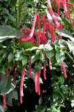 Chenille plant. Acalypha hispida. also known as the Philippines Medusa, red hot cat's tail and fox tail Royalty Free Stock Photos