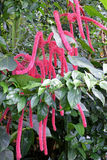 Chenille plant. Acalypha hispida. also known as the Philippines Medusa, red hot cat's tail and fox tail Royalty Free Stock Image