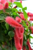 Chenille Plant. Furry flower of Chenille Plant in Hanging Baskets Stock Photos