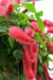 Chenille roślina Zdjęcia Stock