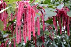 Chenilleanlage, Blumen von Acalypha hispida Stockfotografie