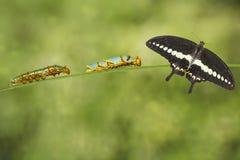 Chenilles 4ème et 5ème avec le papillon réuni Papi de machaon Photographie stock