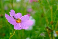 Chenilles mangeant des feuilles et des fleurs de cosmos pour la croissance Photographie stock