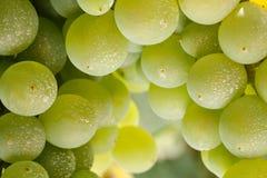 Chenin Blanc grapes close-up royalty free stock photos