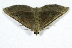 Chenopodiata protetto di Scotopteryx del lepidottero di vasto-Antivari immagine stock