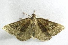Chenopodiata protetto di Scotopteryx del lepidottero di vasto-Antivari fotografia stock