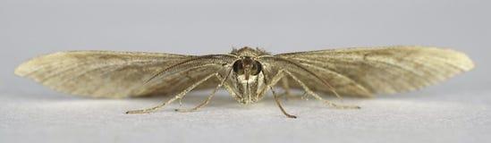 Chenopodiata protetto di Scotopteryx del lepidottero di vasto-Antivari immagini stock