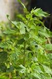 Chenopodium album leaves. Urban wild plant Chenopodium album leaves Stock Photos