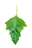 Chenopodium leaf Royalty Free Stock Photography