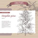 Chenopodium - quinoa akaquinoa schets De inzameling van graangewasseninstallaties Stock Foto's