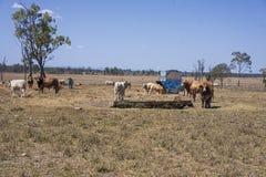 Cheptels bovins avec le conducteur supplémentaire Photo libre de droits