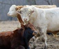 3 cheptels bovins d'amis Images libres de droits