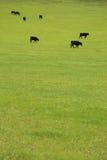Cheptels bovins dans le pâturage Image stock