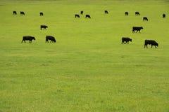 Cheptels bovins dans le pâturage Image libre de droits