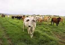 Cheptels bovins dans les tropiques humides Photographie stock