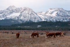 Cheptels bovins devant des montagnes Photos libres de droits