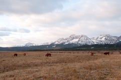 Cheptels bovins devant des montagnes Photos stock