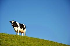 Cheptels laitiers avec le fond de ciel bleu Images stock
