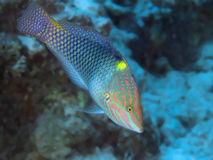 Chequerboard wrasse stock photos