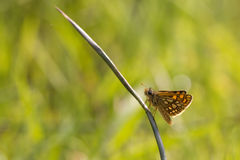 Chequered or Artic Skipper Stock Photo