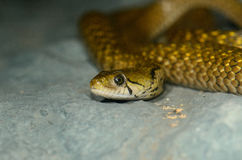 Chequered Keelback (Xenochrophis piscator) Royalty Free Stock Photos