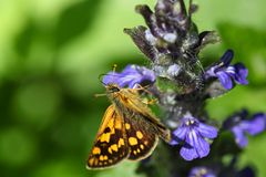 Chequered skipper or Arctic skipper Royalty Free Stock Images