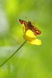 Chequered Skipper butterfly Stock Photography