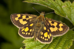 Chequered skipper (Carterocephalus palaemon) Royalty Free Stock Image