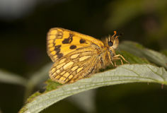 Chequered skipper (Carterocephalus palaemon) Royalty Free Stock Photo