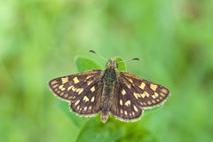 Chequered skipper Carterocephalus palaemon Royalty Free Stock Images