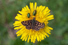 Chequered skipper Carterocephalus palaemon Stock Photography
