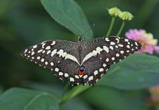 Chequered swallowtail fotografia stock