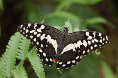 Chequered swallowtail Royalty Free Stock Image