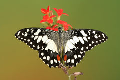Chequered swallowtail butterfly with open wings Royalty Free Stock Image