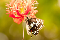 Chequered Swallowtail Butterfly Royalty Free Stock Photo