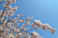 Cher blossom and blue sky Stock Images