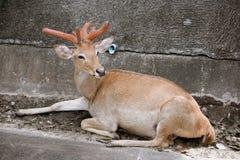 Cher dans le safari de nuit de Chiangmai photographie stock