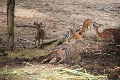 Cher dans le safari de nuit de Chiangmai images stock
