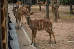 Cher dans le safari de nuit de Chiangmai image stock