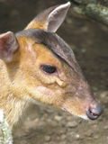 Cher Deer Photos libres de droits