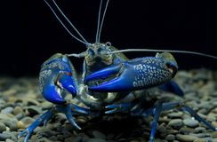 Cherax bleu d'écrevisses dans l'aquarium images stock