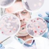 Chercheur supérieur des sciences de la vie greffant des bactéries photos libres de droits