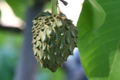 Cherimoya Royalty Free Stock Image