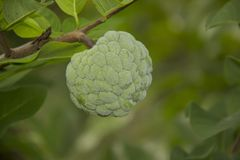 Cherimoya Früchte jung srikaya buah srikaya Stockbilder