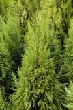 Cheristmas-Bäume Stockfotos