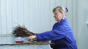 CHERKASY region, UKRAINA, LUTY 20, 2019: proces kopulizacja orzecha włoskiego rozsady z różnorodnymi wybranymi gatunkami i zdjęcie wideo