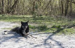 Chernobyl wild dog. Hundreds of stray dogs have learned to survive in the woods around the exclusion zone – mainly descendants of those left behind after the Royalty Free Stock Image