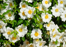 Cherokee róże Obraz Royalty Free