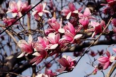 Cherri blossom. Cherri tree is blooming in the spring Stock Photo