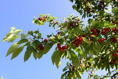 Cherri tree Stock Photos